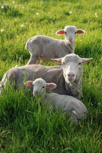You have bedded me down in lush meadows,   sheep   Sheep