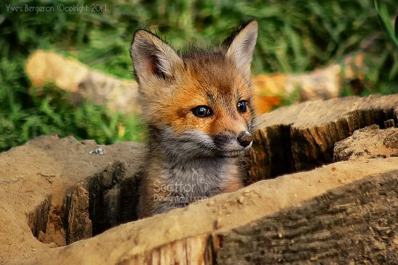Baby Fox   Favorite Animals   Pinterest  Baby Fox   Favo...