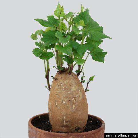 Topfpflanzen Verschenken süßkartoffel pflanzen verschenken mehrere und hübsch