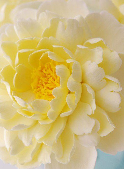 ڿڰ Soft Yellow Dahlia