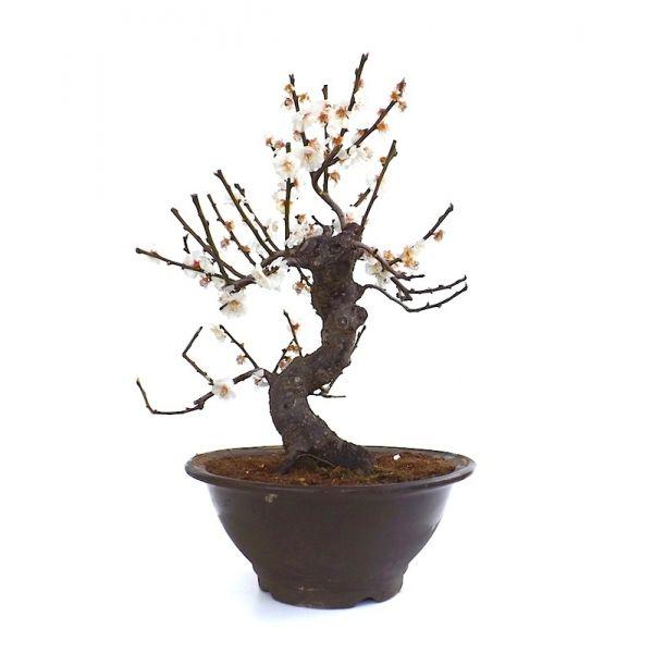 vente de bonsai prunus mume fleurs blanches 47 cm sankaly bonsa pru140305 achat vente en ligne. Black Bedroom Furniture Sets. Home Design Ideas