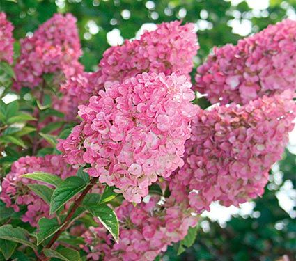 New Hydrangea Paniculata Strawberry Sundae White Flower Farm Hydrangea Paniculata White Flower Farm Panicle Hydrangea
