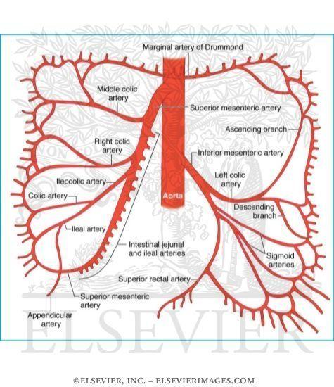 Superior And Inferior Mesenteric Artery Hanatomy Pinterest