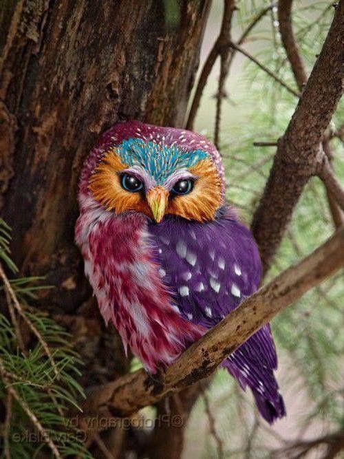 Rare Colorful Owl