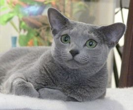 Russian Blue Price Range 500 To 3 000 Russian Blue Cats Have Short Coats That Don T Shed Constantly They Russian Blue Cat Russian Blue Cats And Kittens