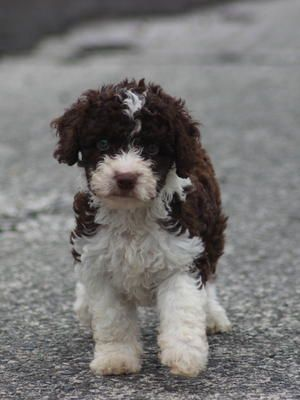 Spanish Water Dog Puppies Pictures