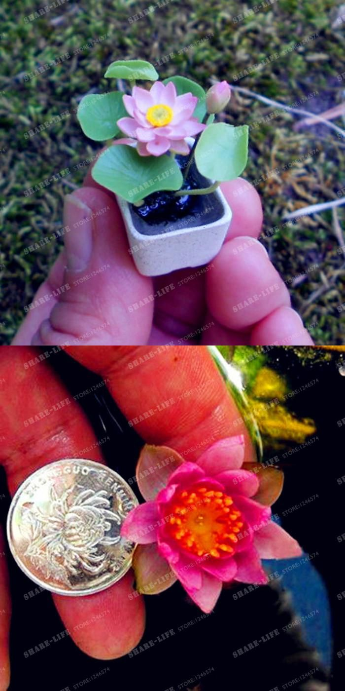 Visit to Buy] 10 Pcs Mini Lotus Flower Seeds, Diy Potted Plants ...