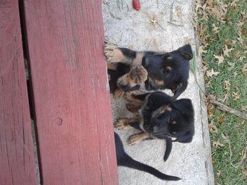 German Shepherd Dog Puppy For Sale In Cherry Hill Nj Adn 44893