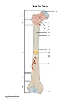 Long Bone Anatomy Quiz or Worksheet | Worksheets