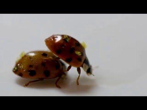 ladybug video asian