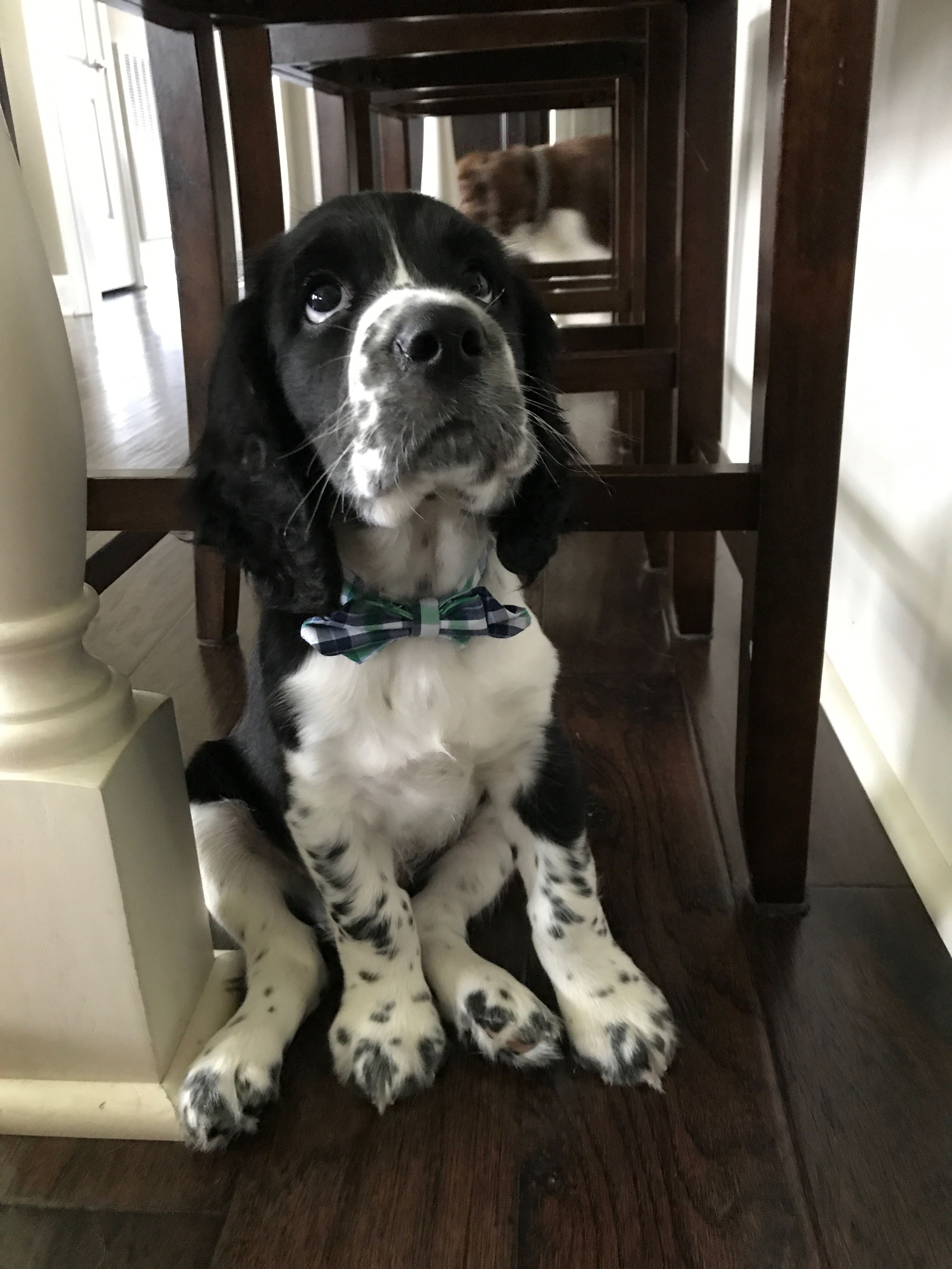 Our Springer Puppy Cooper Tradd Of Charleston Springer Puppies Charlie Bears Puppies