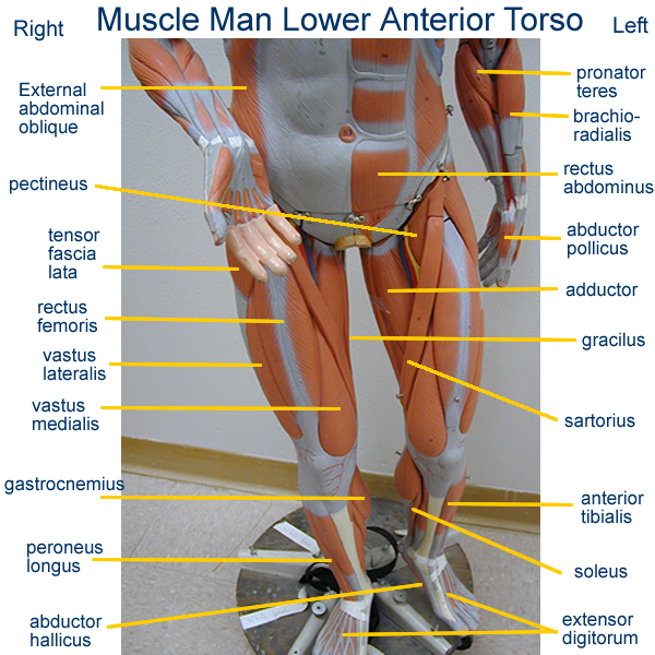 small torso muscle models labeled head posterior arm