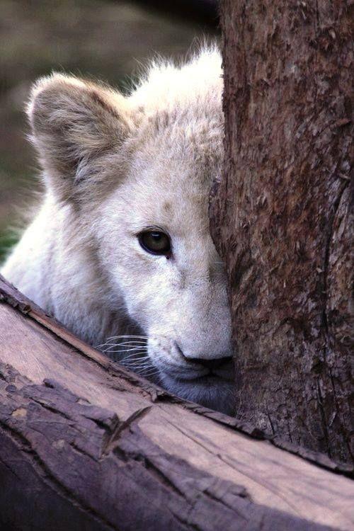 White lion cub <3
