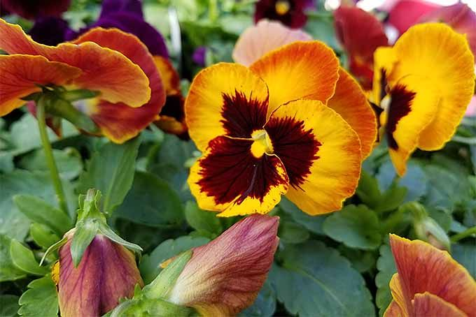 How To Grow Pansies And Violas For Multi Season Color Season Colors Pansies Winter Pansies