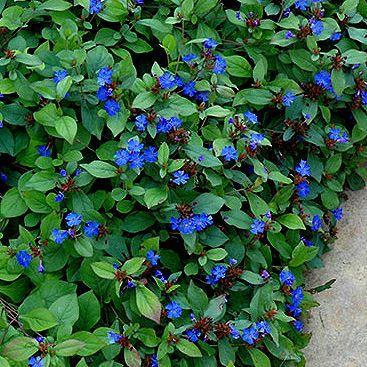 Ground Cover Plants For Sun Hillside