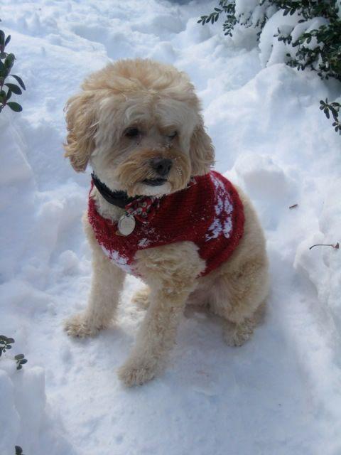 Snow Dog Knitting Pattern Free : Snowflake Dog Sweater: #knit #knitting #free #pattern #freepattern #freeknitt...