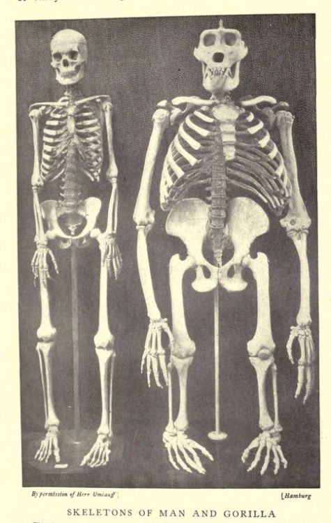 Skeletons of man and gorilla. The people\'s natural history ...