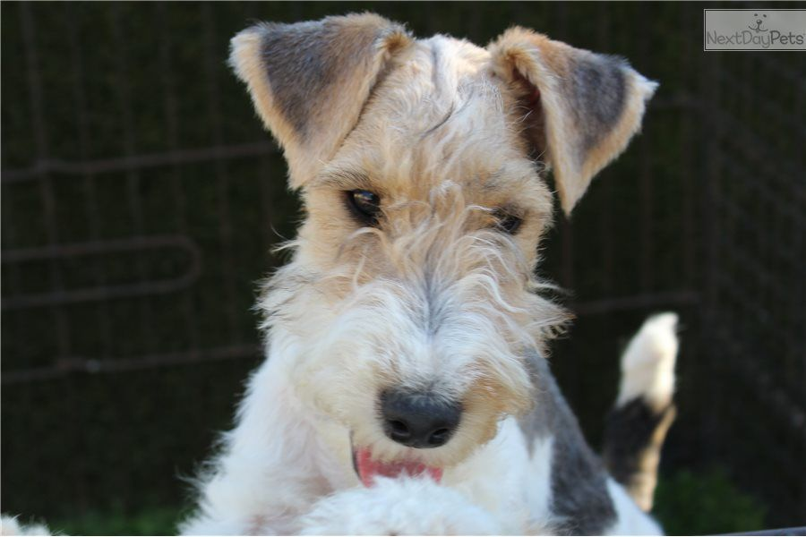 Fox Terrier Wire Puppy For Sale Near Los Angeles California