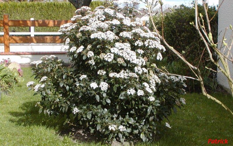 Le laurier tin arbuste persistant structure le jardin for Jardin arbuste