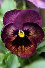 Billede fra http://www.havenyt.dk/images/upload/ugens_havenyt/stedmoderblomst_6898.jpg.