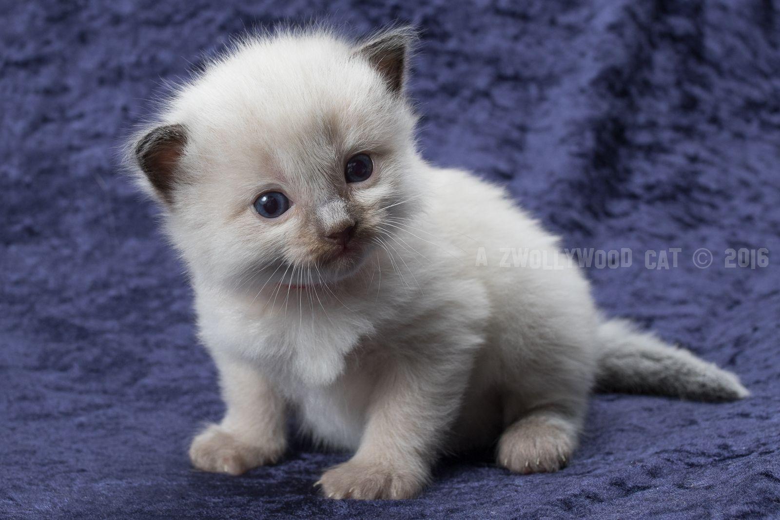 2016 Fred A Zwollywood Cat 3 Weeks Old Ragdoll Kitten Seal Colourpoint Flintstones Litter