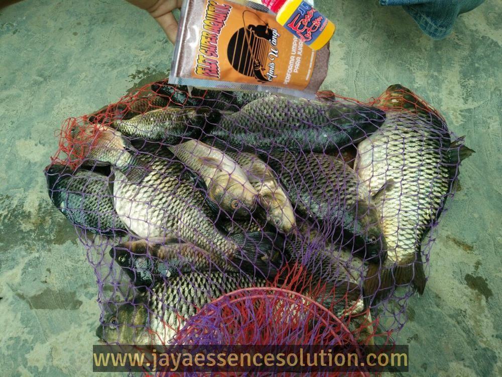 Tips Cara Mudah Membuat Umpan Ikan Mas Lomba Harian Yang Jitu Dan Ampuh Untuk Mendaratkan Ikan Mas Harian Dengan Hasil Yang Memuaskan Hanya Ikan Mas Essen Ikan