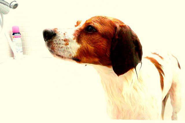 Tratamiento Para La Niña En Perros Perros Tratamientos Tratamiento Casero
