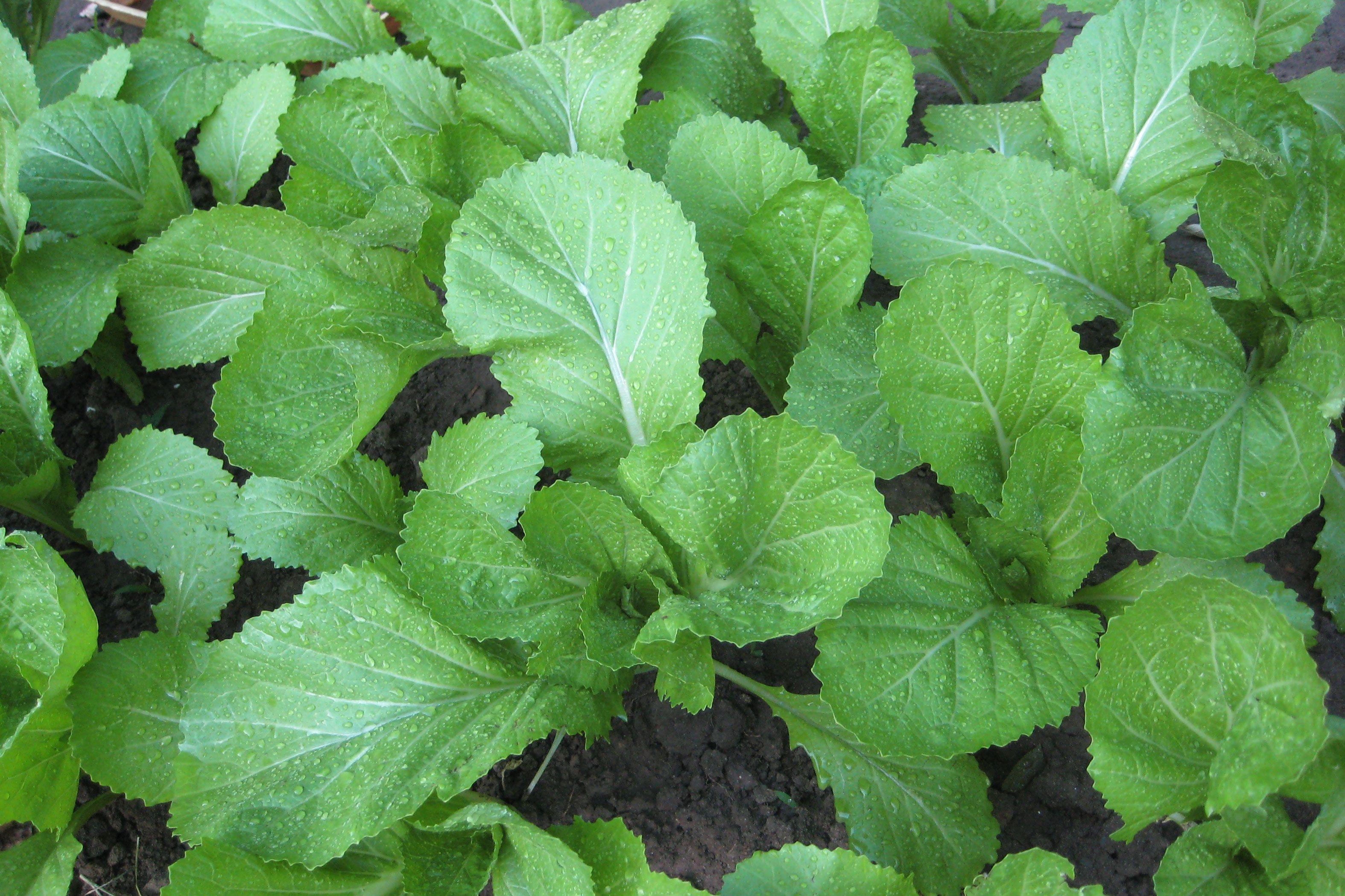 An allnatural bug spray for a vegetable garden natural