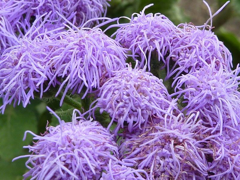 100 Dwarf Blue Mink Ageratum Houstonianum Fuzzy Double West Flower Names Flowers Name List Different Types Of Flowers