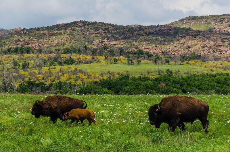 Bison Oklahoma Spring in the Wichita ...