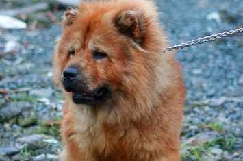 Chow Chow Yourlocalsecurity Com S Best Guard Dog Contest