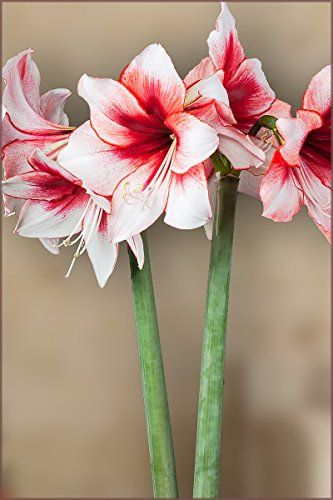 Amaryllis Bulb Red And White Amaryllis Temptation 2830cm Bulb Outstanding Indoor Blooms Details Can Be Found By C Amaryllis Bulbs Amaryllis Red Amaryllis
