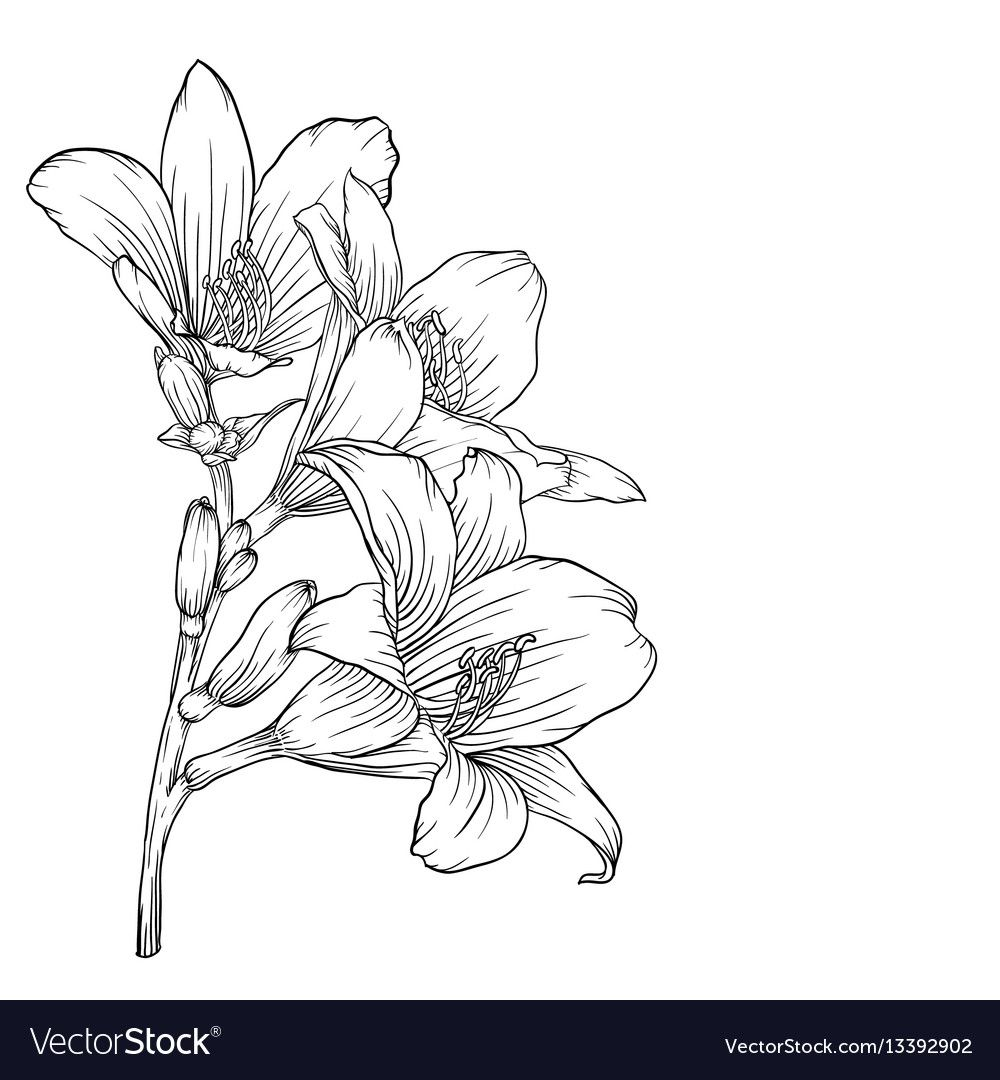 Black and white bouquet lily isolated on vector image on