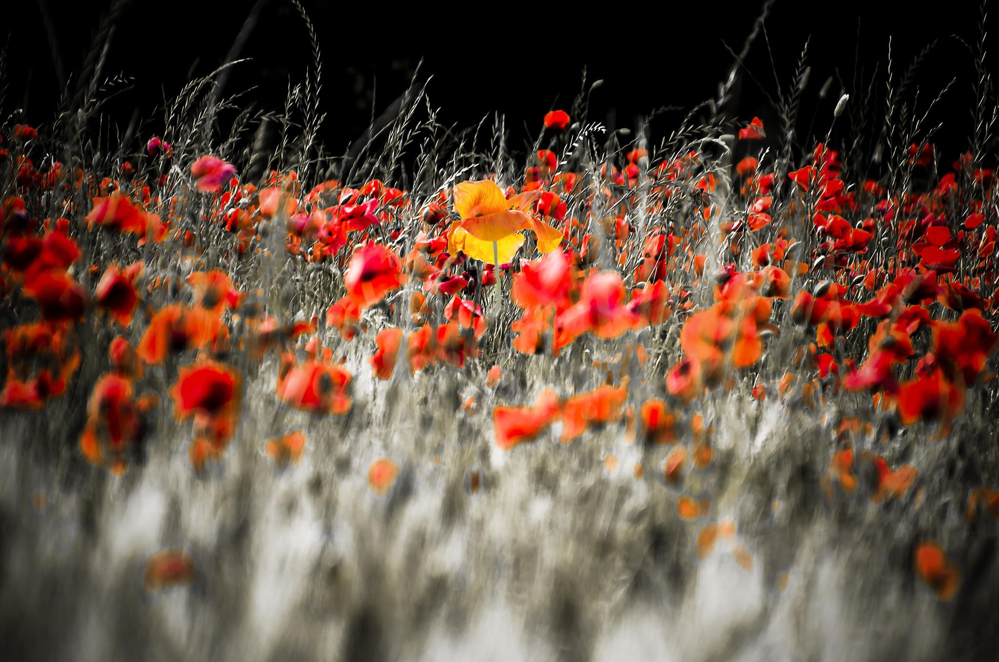 Poppies b&w and colors by Nicodemo Quaglia on 500px