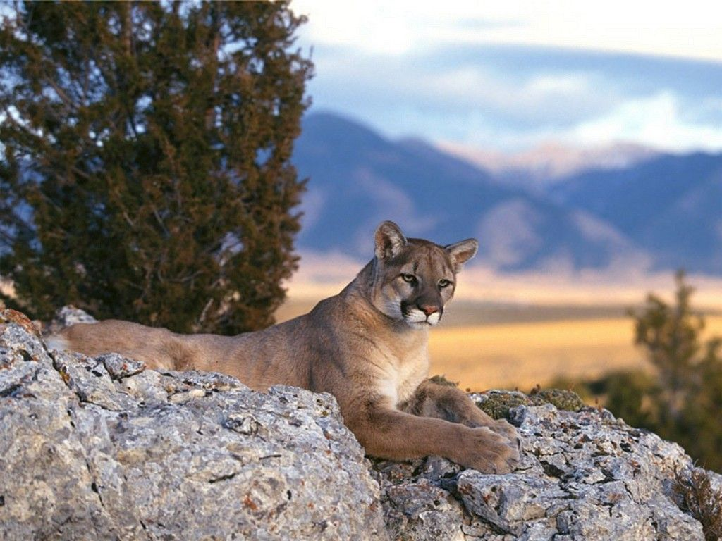 Mountain Lion Wild Cats Mountain Lion Cat Species