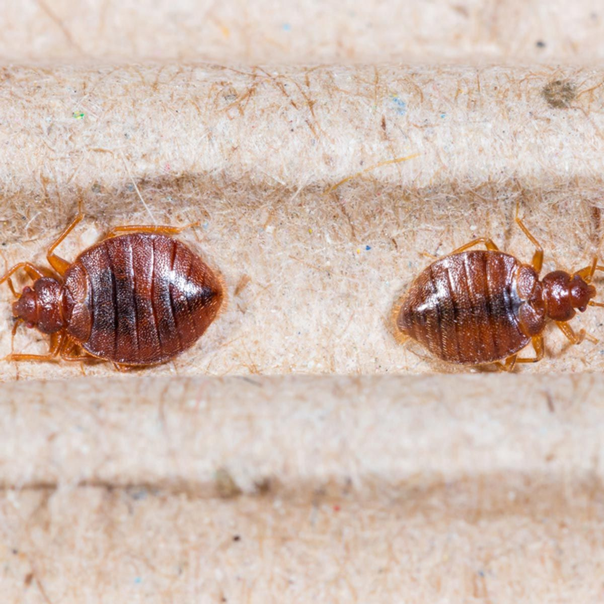 Home Pest Control Follow These Steps To Avoid A Bed Bug Infestationa Bed Bug Infestation Is A Challenge To Bed Bugs Infestation Bed Bugs Bed Bugs Treatment