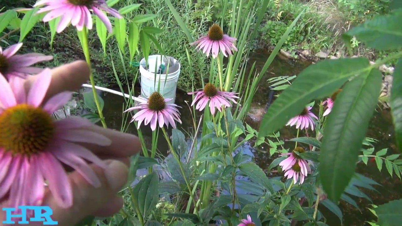 Echinacea Purple Coneflowers Flowers Purpurea Pick Them In Spring Eat The Roots Flower Echinacea Pepper Plants Buy Seeds
