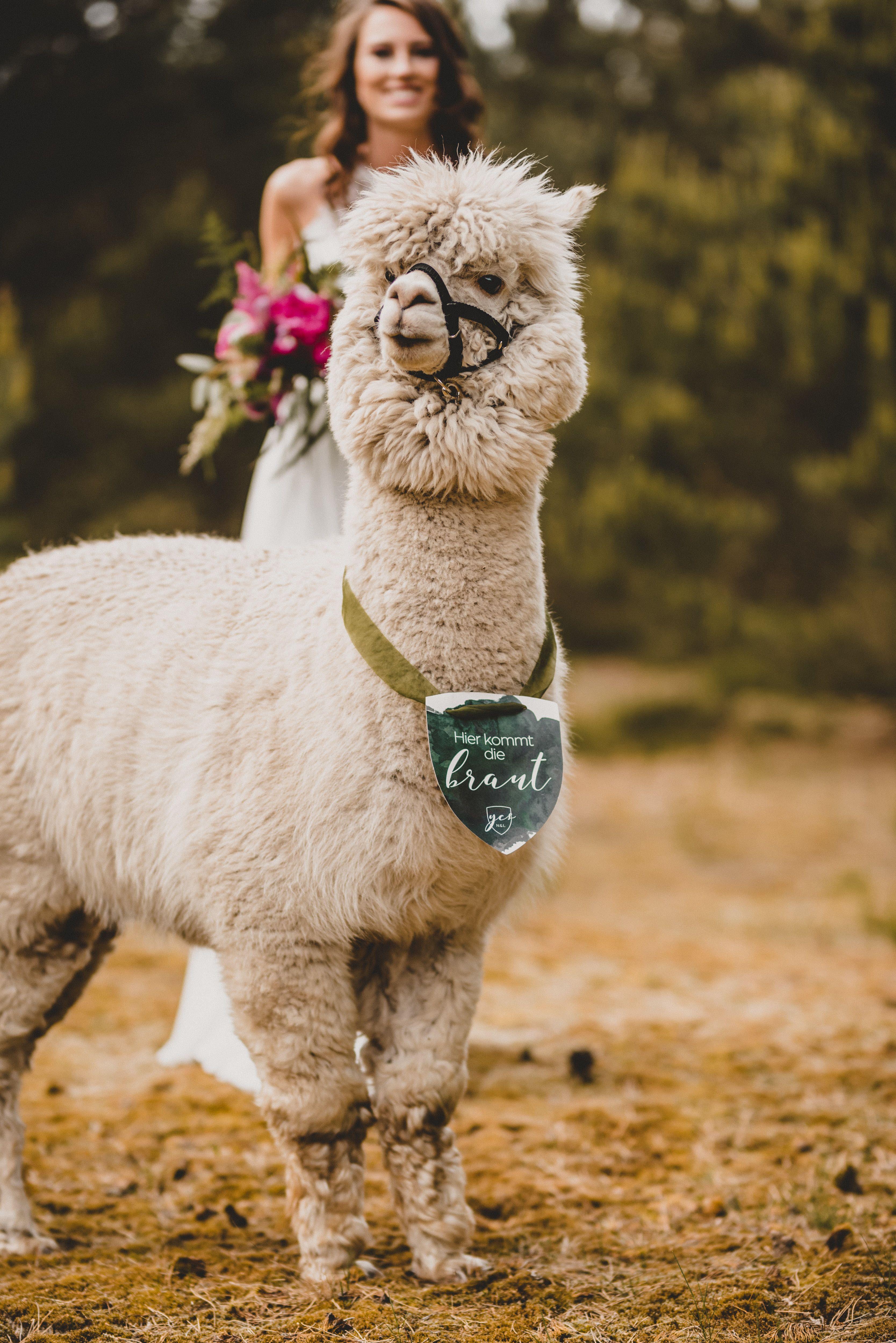 Single Post Alpakas Hochzeitsinspirationen Alpaka