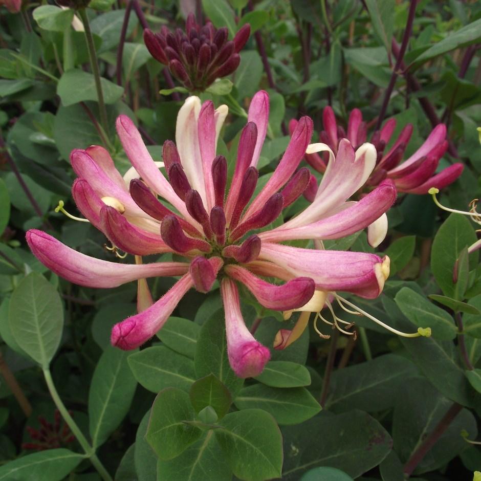 Lonicera periclymenum 'Rhubarb and Custard' honeysuckle