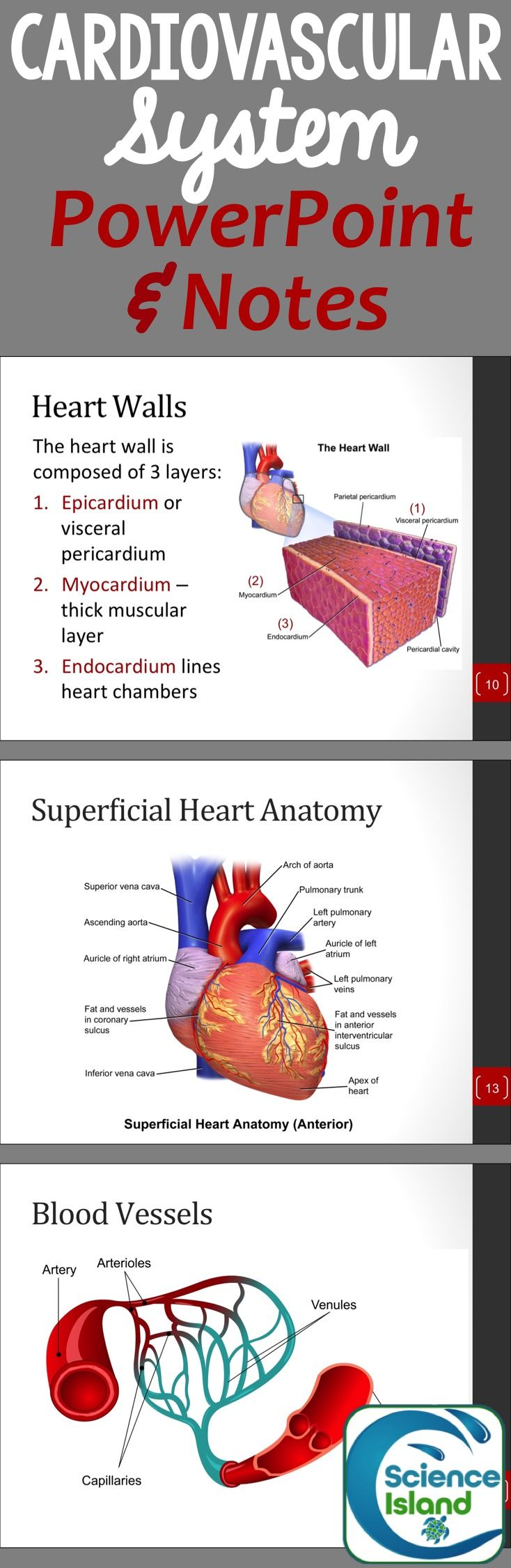 Cardiovascular System PowerPoint and Notes   Pinterest   Anatomía