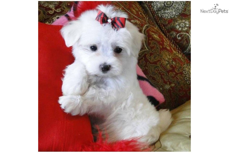 Maltese Puppy For Sale Near Dallas X2f Fort Worth Texas