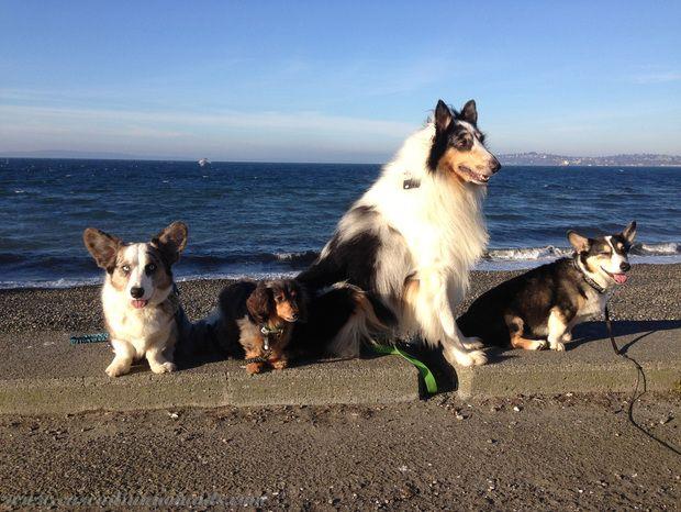 Four Fit Dogs Brychwyn Cardigan Welsh Corgi Wilhelm Miniature