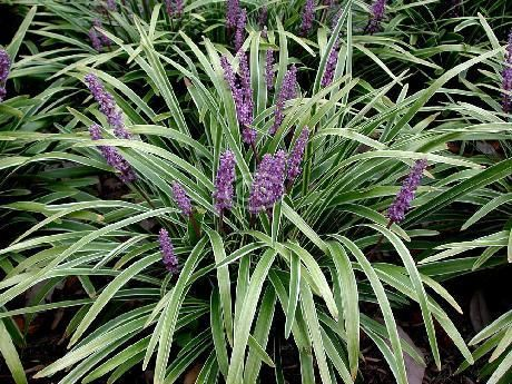 Liriope muscari 39 variegata 39 lily turf 39 variegated for Variegated grass plant