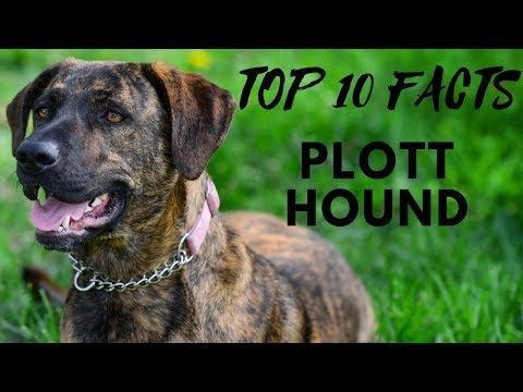 (1) Plott Hound - Top 10 Interesting Facts - YouTube #plotthound (1) Plott Hound - Top 10 Interesting Facts - YouTube #plotthound