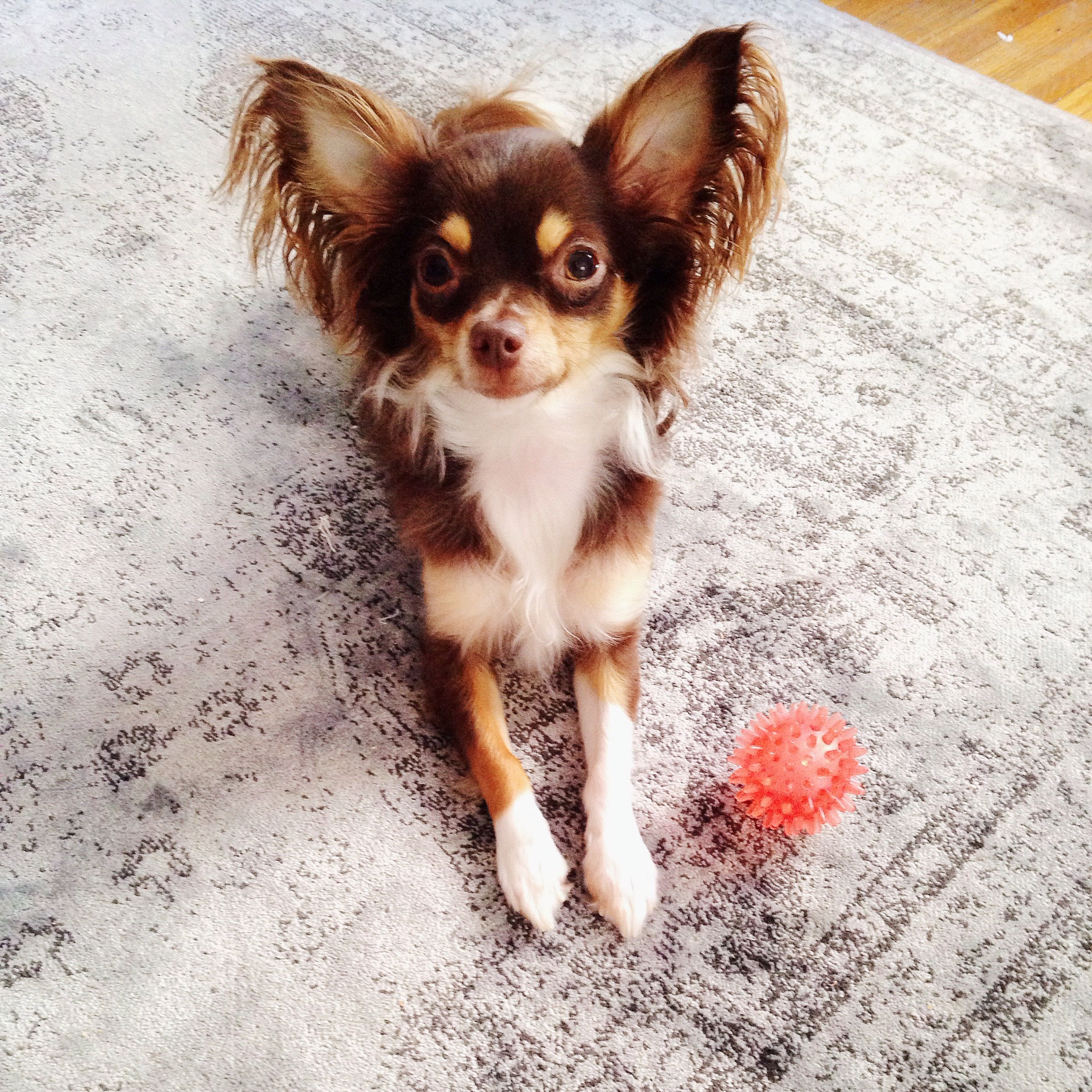 Long Haired Chihuahua With Images Cute Chihuahua Chihuahua
