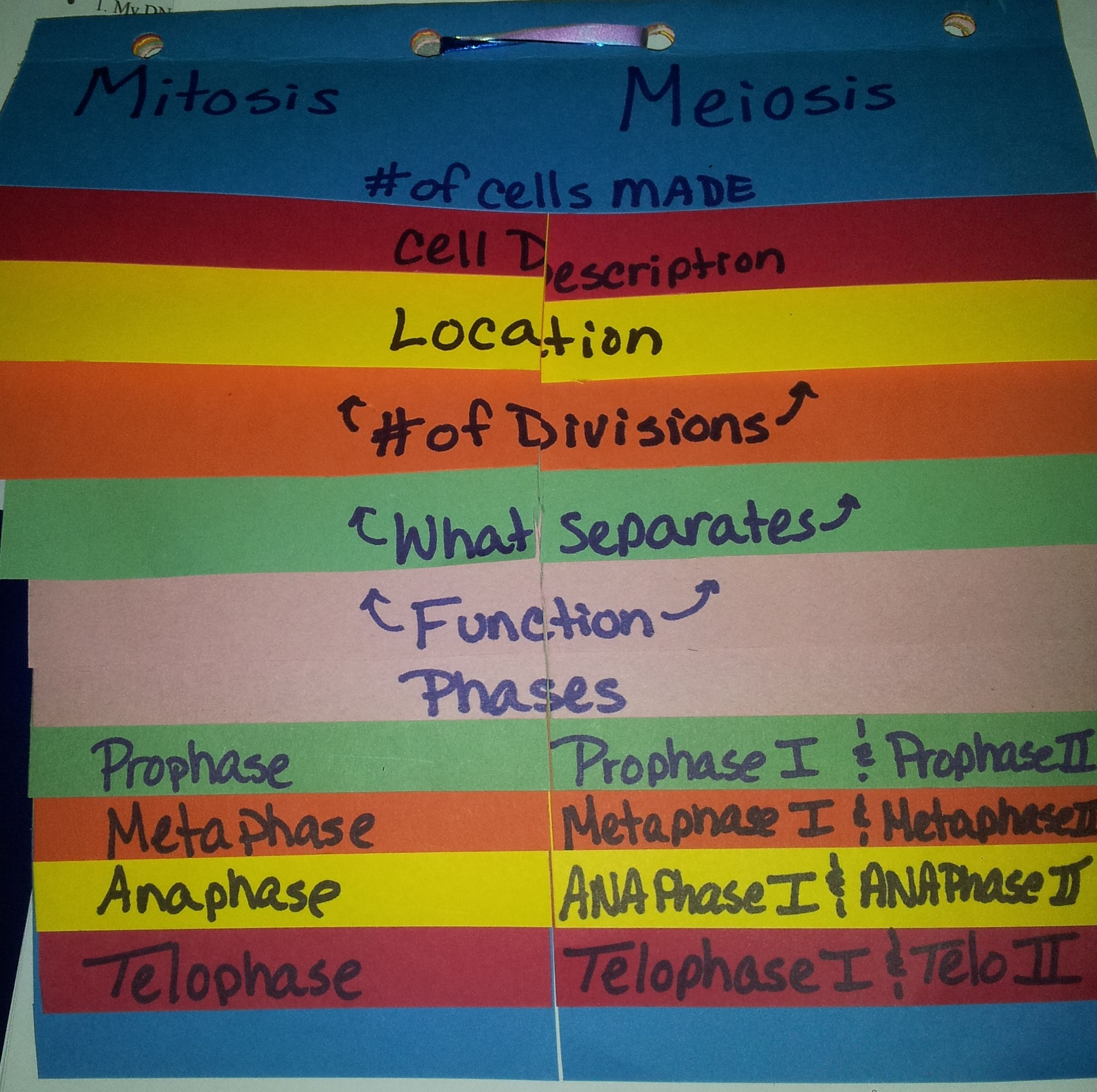 Mitotis And Meiosis Foldable No Description But I Think I Could Figure This Out