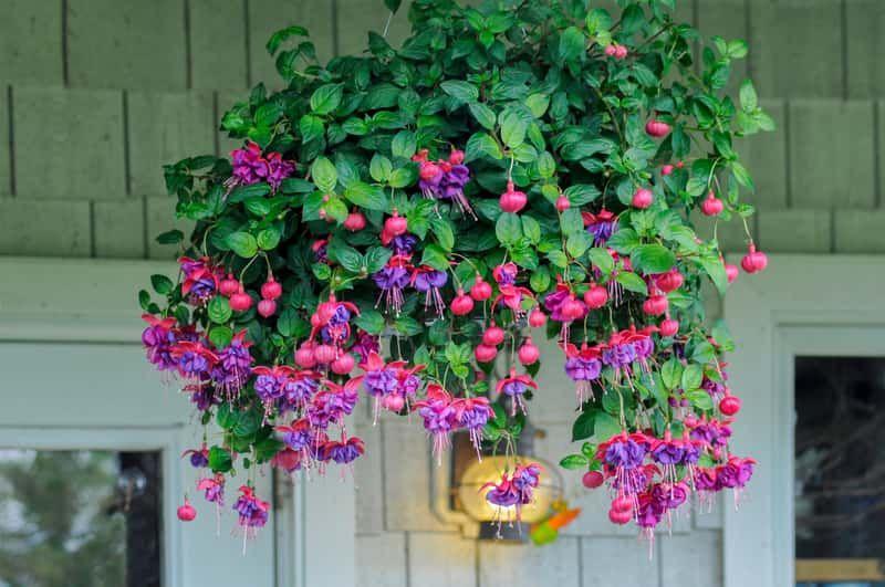 Przepieknie Kwitnaca Fukcja Na Balkonie Plants