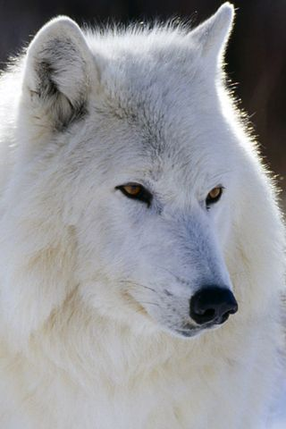 White Wolf Beautiful With Images Animals Beautiful Arctic