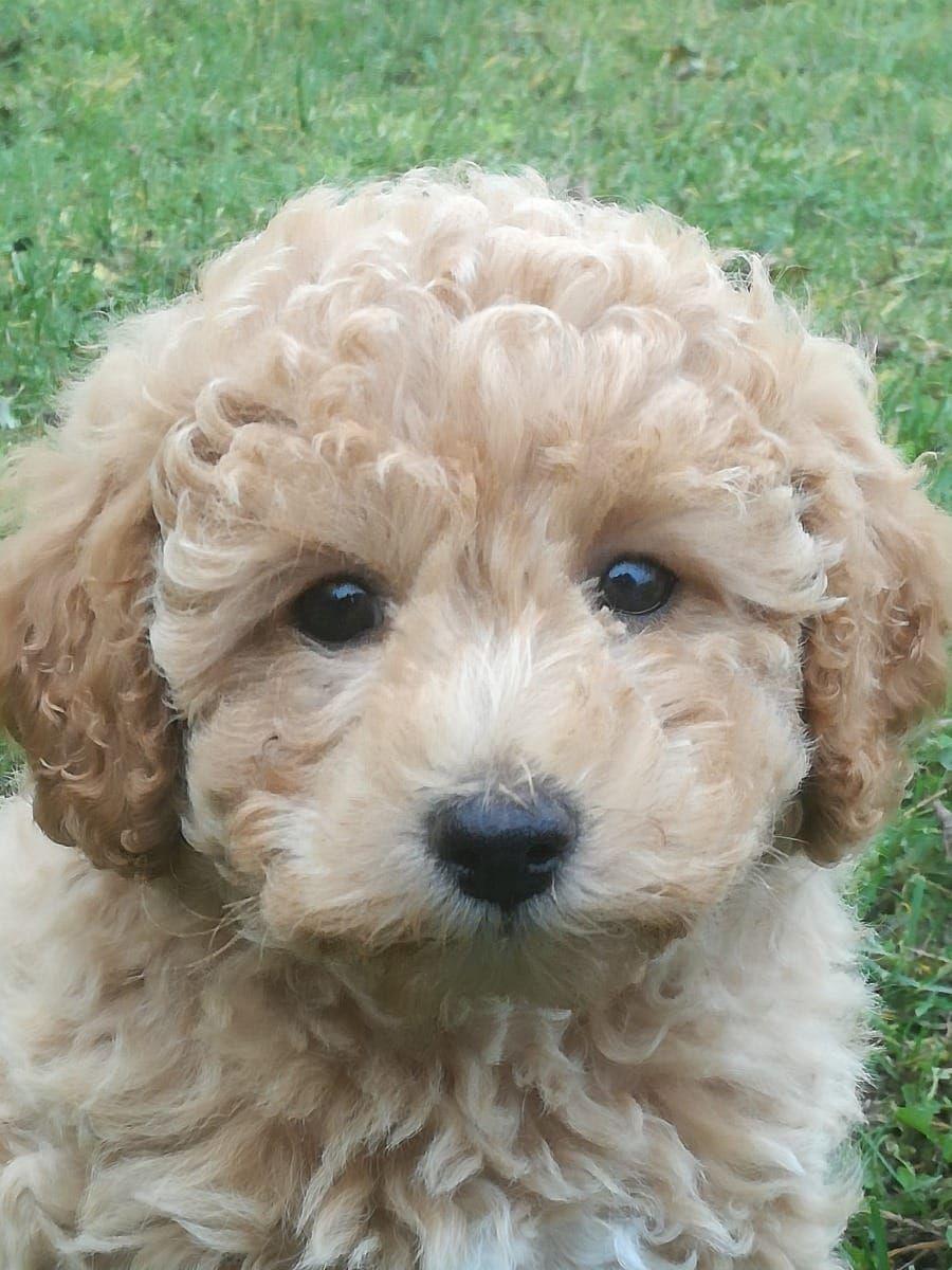 Verkaufe Susses Bolipumadchen Anklam Pudel Deine Tierwelt De Pudel Verkauf Hunde