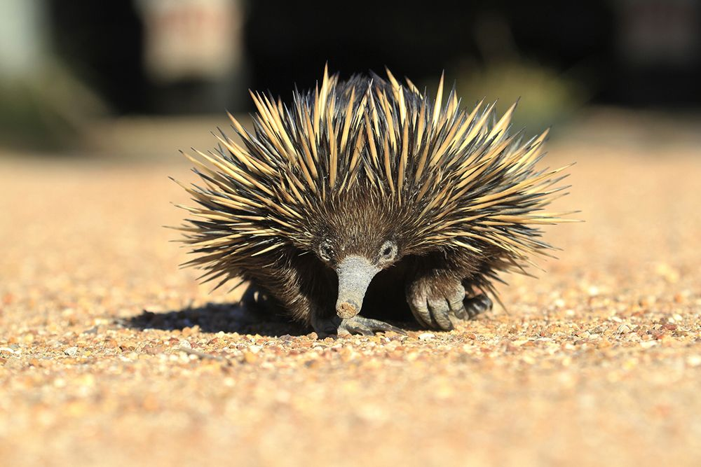 A Stroll Around The Yard With A Short Beaked Echidna Echidna